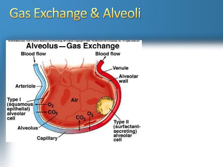 Gas Exchange & Alveoli