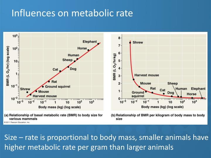 Influences on metabolic rate