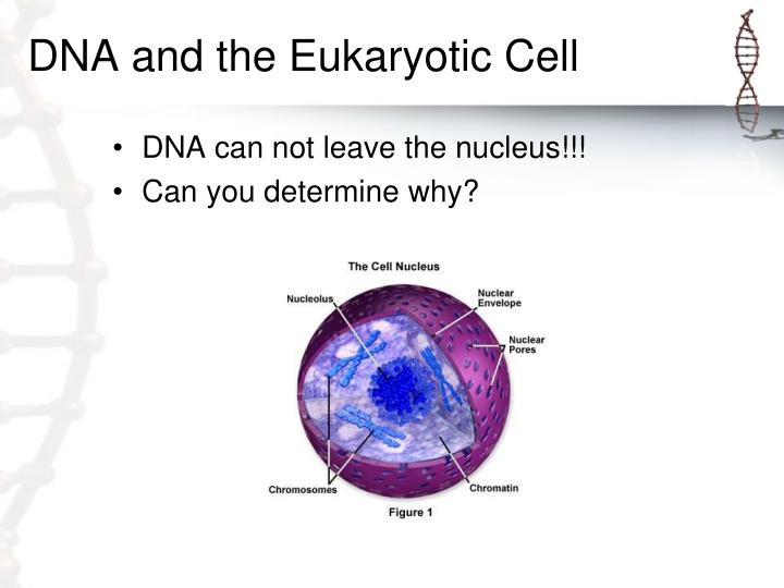 DNA and the Eukaryotic Cell