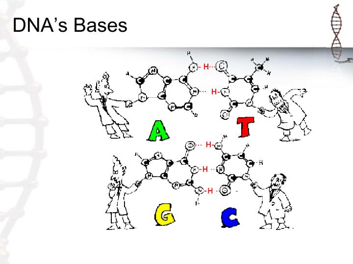DNA's Bases