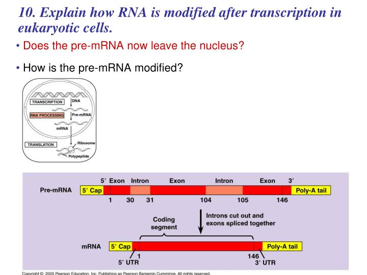 10. Explain how RNA is modified after transcription in eukaryotic cells.