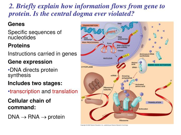 2. Briefly explain how information flows from gene to protein. Is the central dogma ever violated?