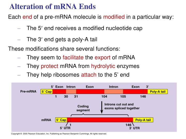 Alteration of mRNA Ends