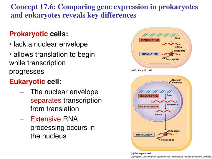 Concept 17.6: Comparing gene expression in prokaryotes and eukaryotes reveals key differences