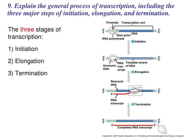 9. Explain the general process of transcription, including the three major steps of initiation, elongation, and termination.