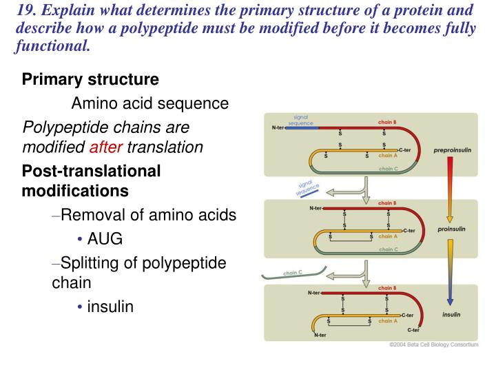 19. Explain what determines the primary structure of a protein and describe how a polypeptide must be modified before it becomes fully functional.