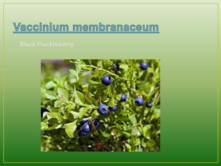Vaccinium membranaceum