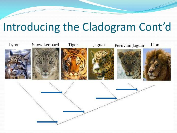 Introducing the Cladogram Cont'd