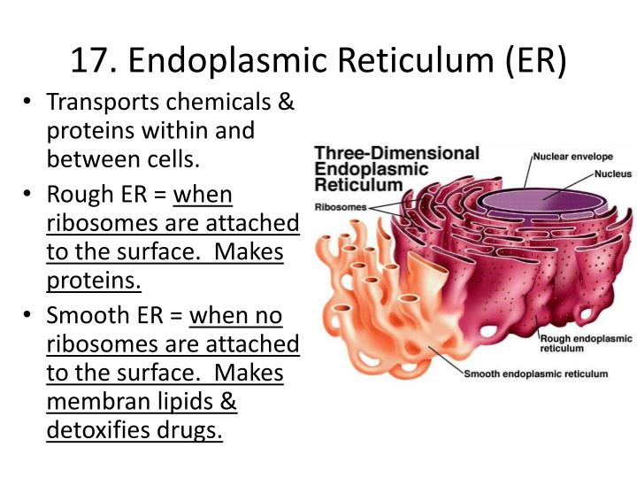 smooth endoplasmic reticulum The smooth endoplasmic reticulum lacks ribosomes and functions in lipid metabolism, production of steroid hormones and detoxification the endoplasmic reticulum is a type of organelle in eukaryotic cells that forms an interconnected network of flattened , membrane enclosed sacs or tube like structures known as cisternea.