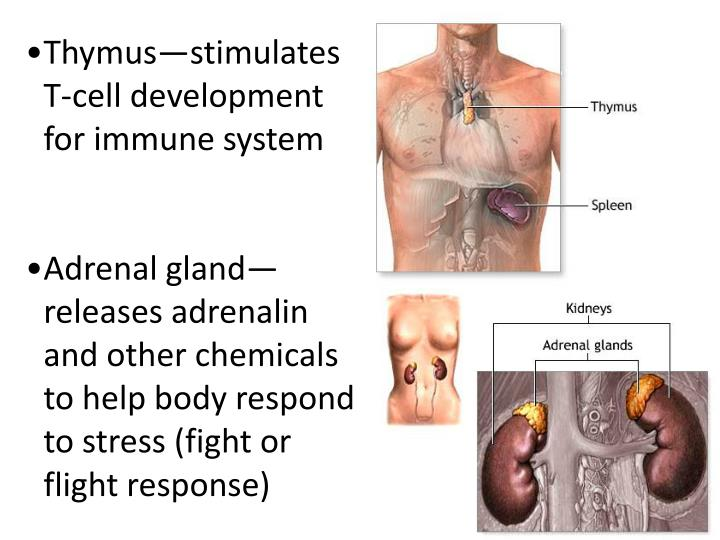 Thymus—stimulates T-cell development for immune system