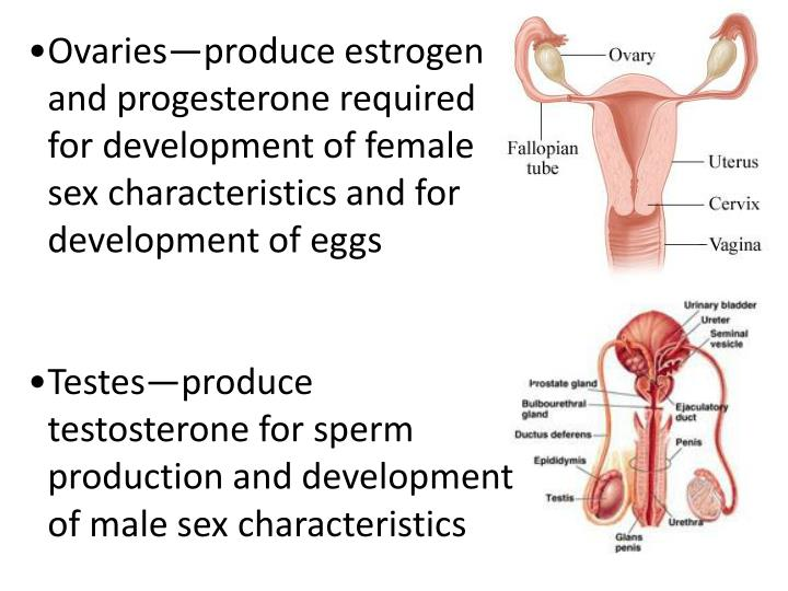 Ovaries—produce estrogen and progesterone required for development of female sex characteristics and for development of eggs