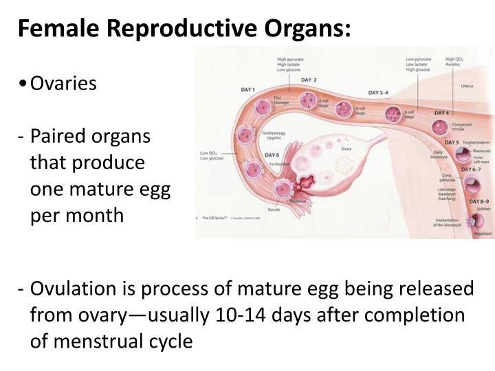Female Reproductive Organs:
