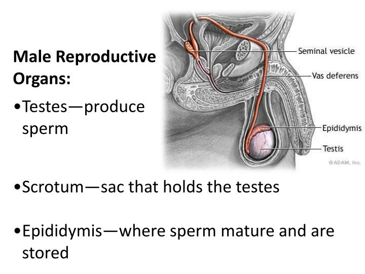 Male Reproductive Organs: