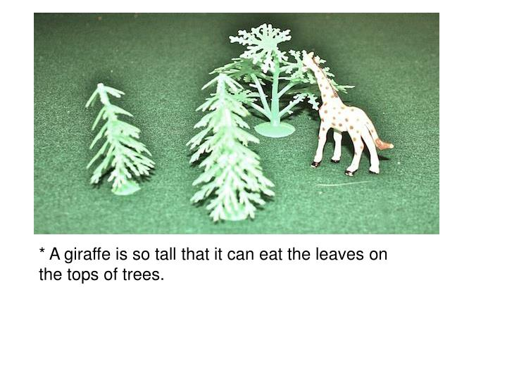 * A giraffe is so tall that it can eat the leaves on