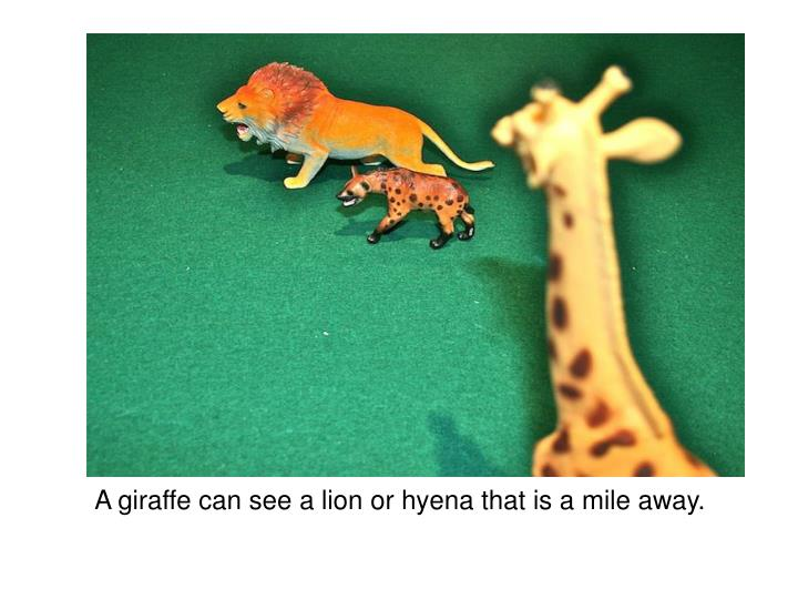 A giraffe can see a lion or hyena that is a mile away.