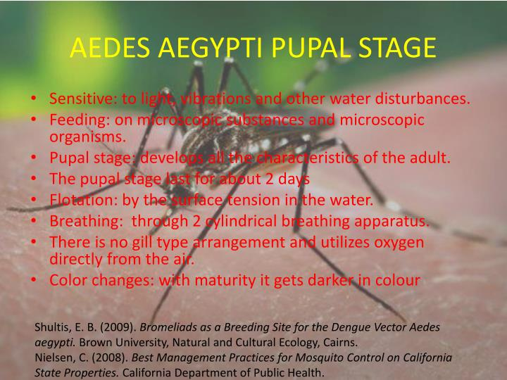 AEDES AEGYPTI PUPAL STAGE