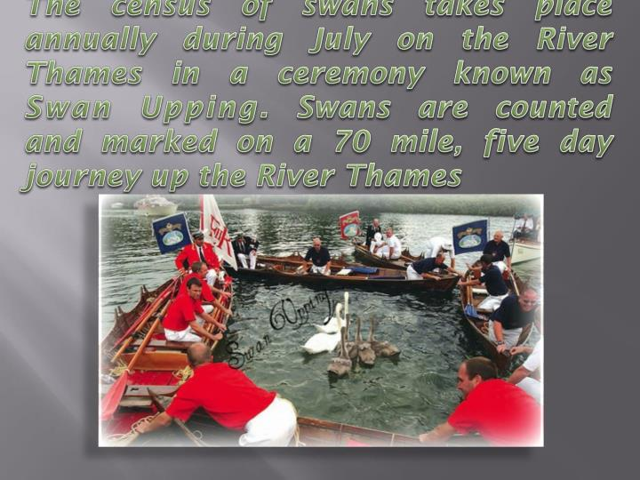 The census of swans takes place annually during July on the River Thames in a ceremony known as