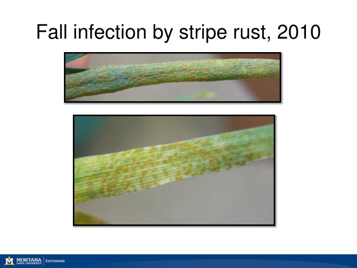 Fall infection by stripe rust, 2010
