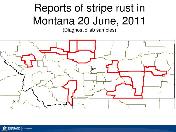 Reports of stripe rust in Montana 20 June, 2011
