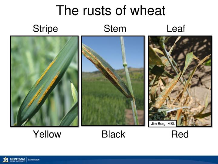 The rusts of wheat