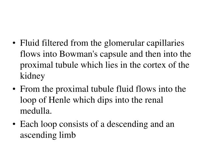 Fluid filtered from the glomerular capillaries flows into Bowman's capsule and then into the proximal