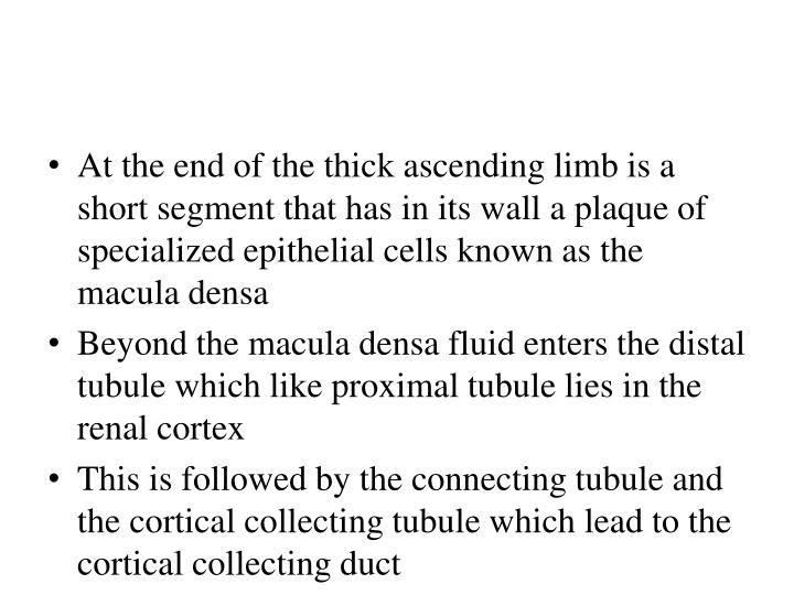 At the end of the thick ascending limb is a short segment that has in its wall a plaque of specialized epithelial