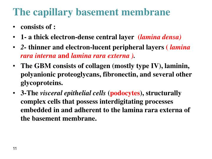 The capillary basement membrane