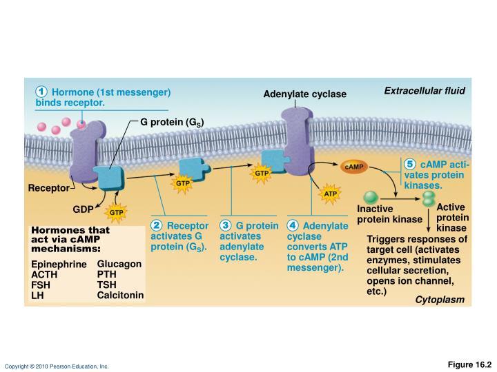 Extracellular fluid