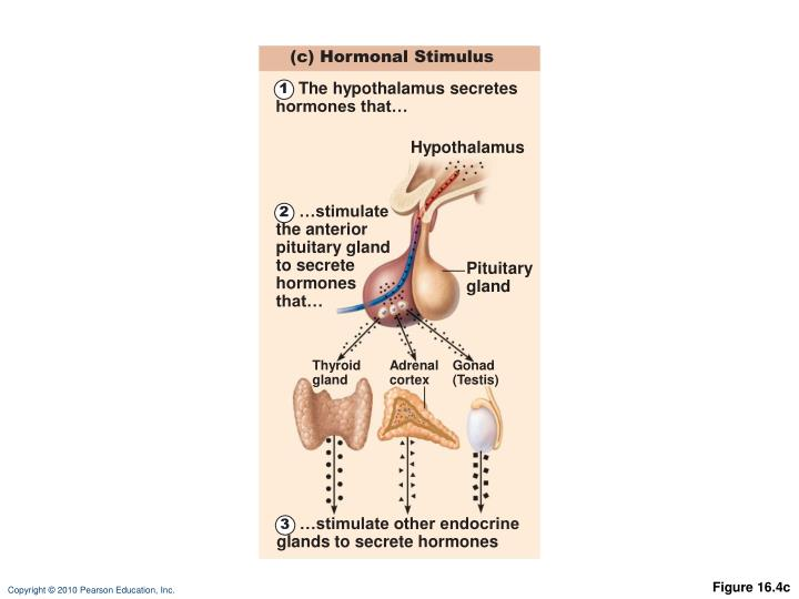 (c) Hormonal Stimulus