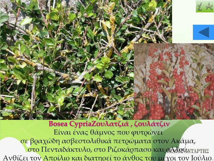 Bosea Cypria