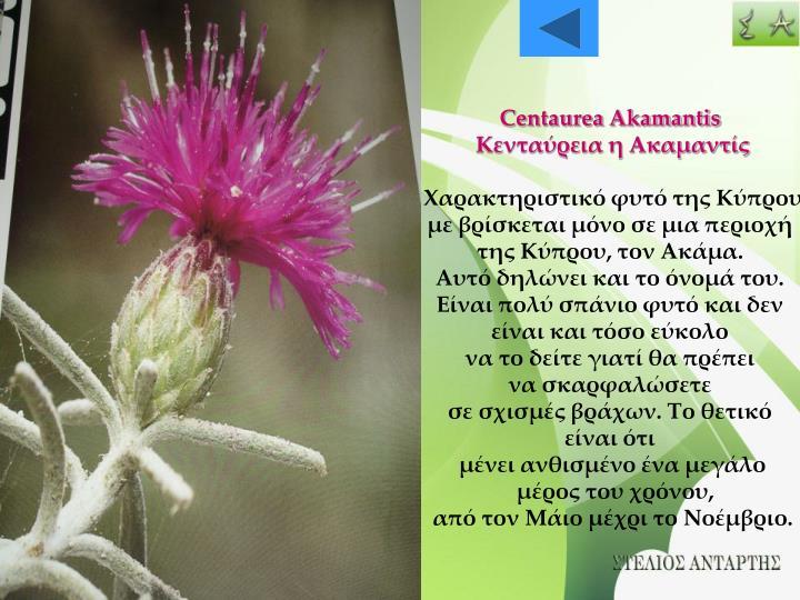 Centaurea Akamantis
