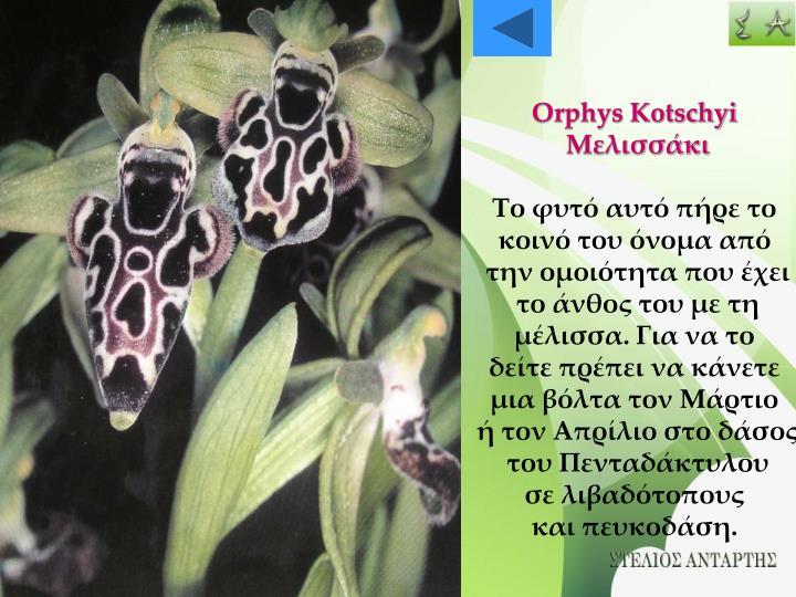 Orphys Kotschyi