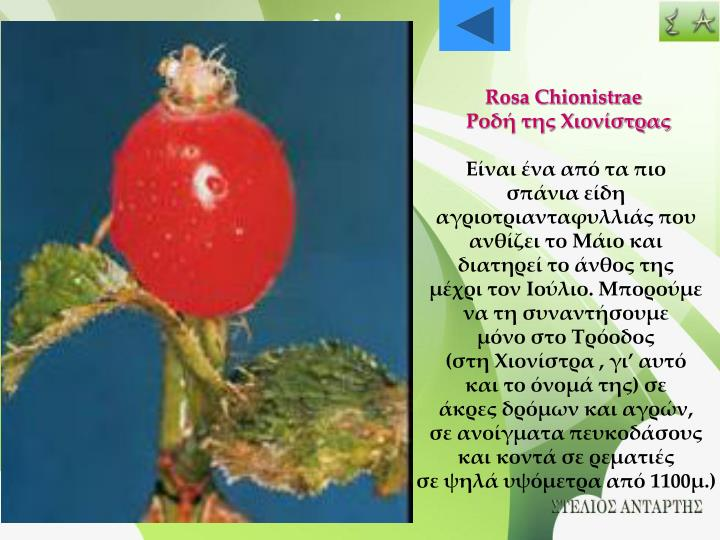 Rosa Chionistrae