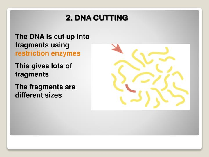 2. DNA CUTTING