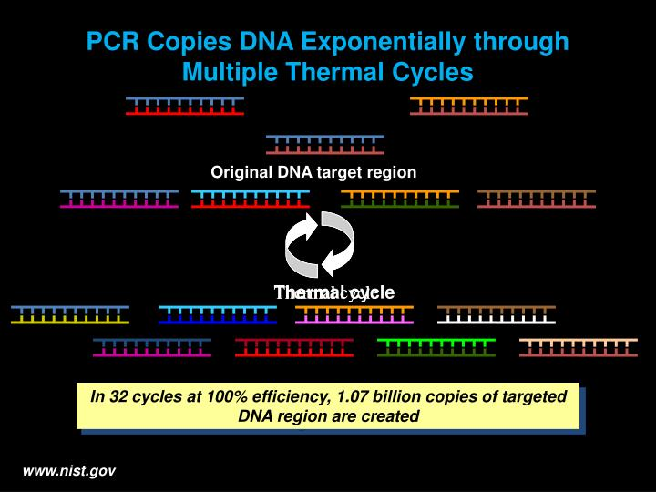 Original DNA target region