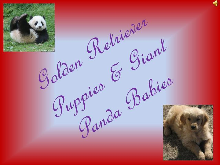 Golden retriever puppies giant panda babies