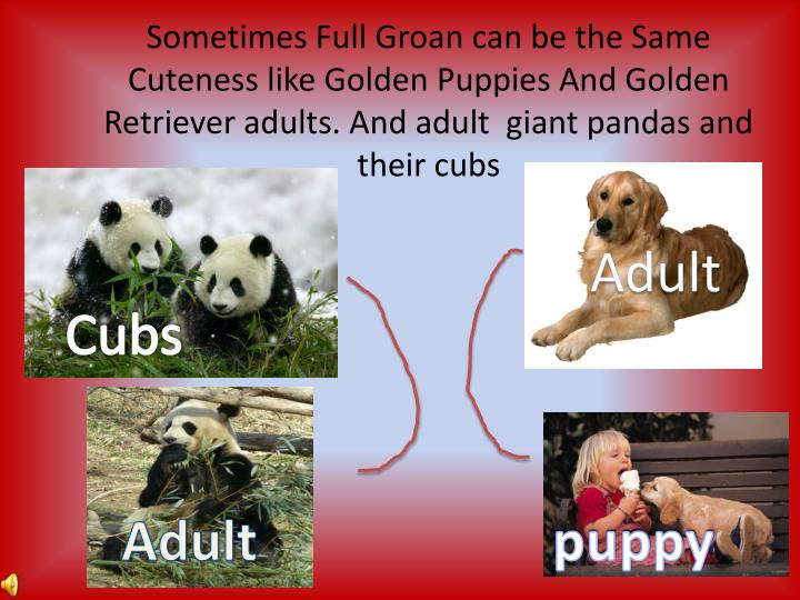Sometimes Full Groan can be the Same Cuteness like Golden Puppies And Golden Retriever adults. And adult  giant pandas and their cubs