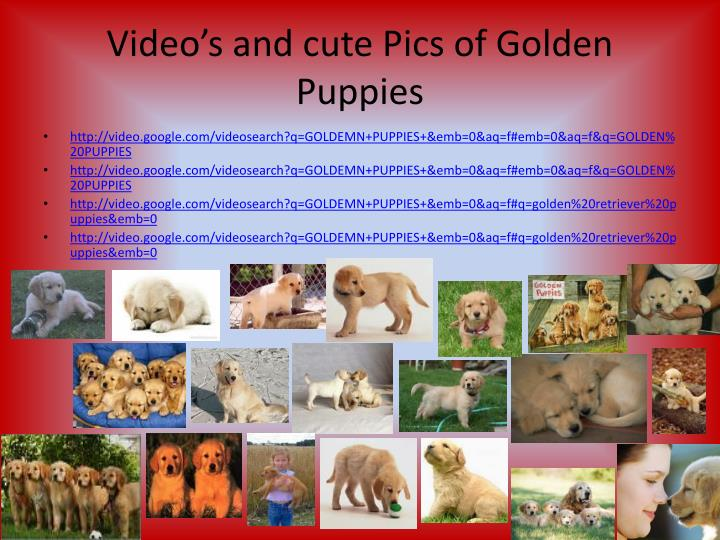 Video's and cute Pics of Golden Puppies