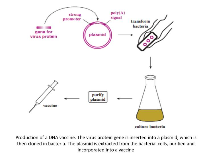 Production of a DNA vaccine. The virus protein gene is inserted into a plasmid, which is then cloned