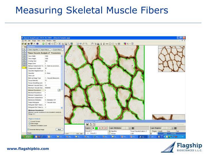 Measuring Skeletal Muscle Fibers