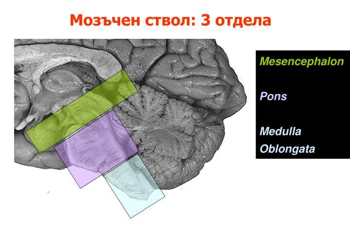 Мозъчен ствол