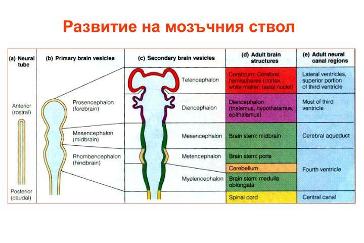 Развитие на мозъчния ствол