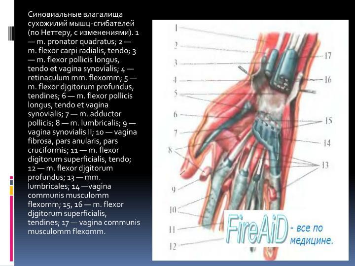 Синовиальные влагалища сухожилий мышц-сгибателей (по