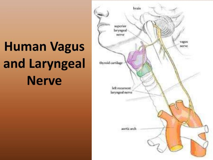 Human vagus and laryngeal nerve