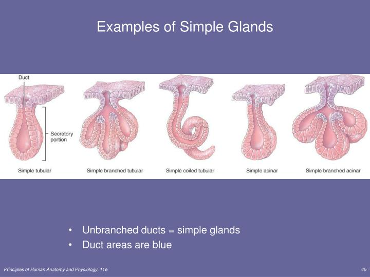 Examples of Simple Glands