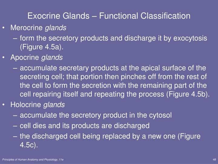 Exocrine Glands – Functional Classification
