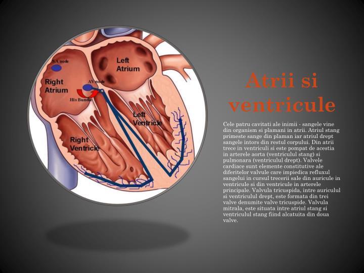 Atrii si ventricule