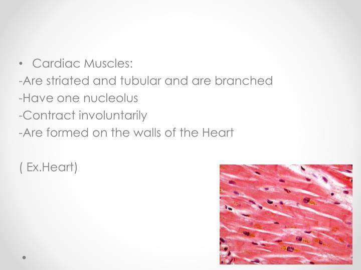 Cardiac Muscles: