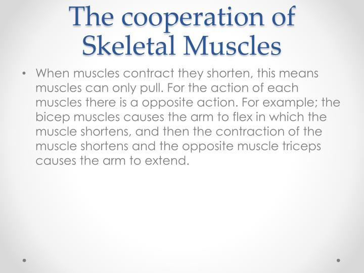 The cooperation of Skeletal Muscles