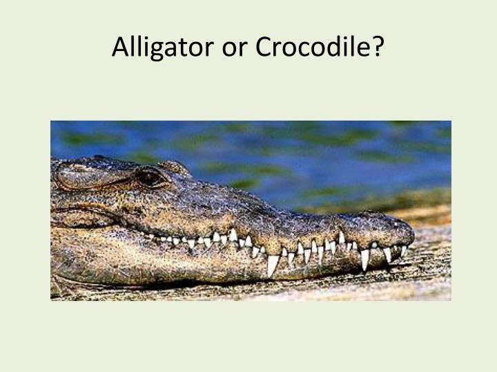 Alligator or Crocodile?